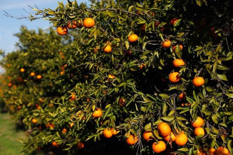 Imagen de archivo de un campo de naranjos. EFE/Kai Försterling/Archivo
