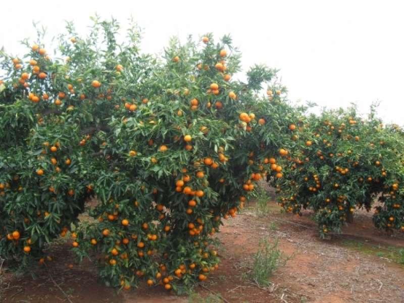 Imagen de una plantación de cítricos.