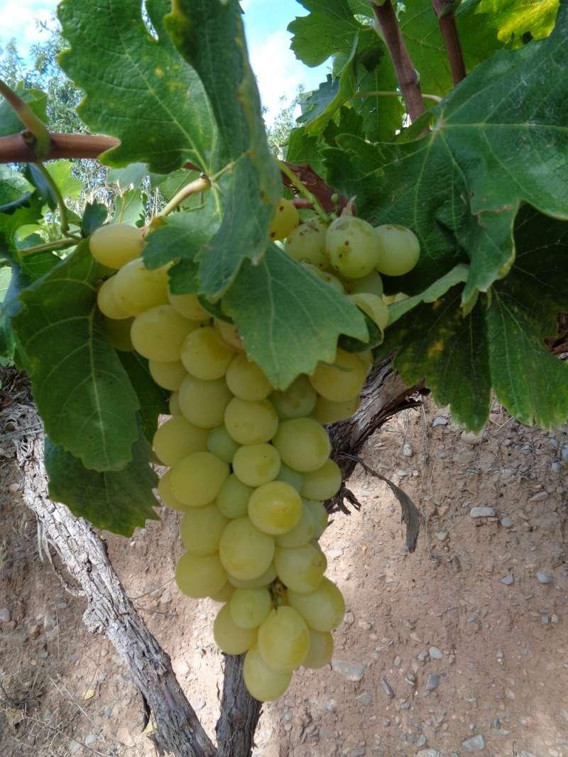 Viñas y uva de Casinos. Archivo JSM.