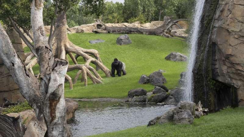 El gorila Jitu en el Bioparc Valencia.