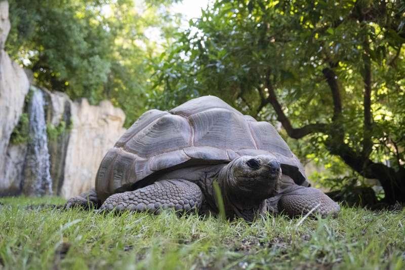 Tortuga Aldabra