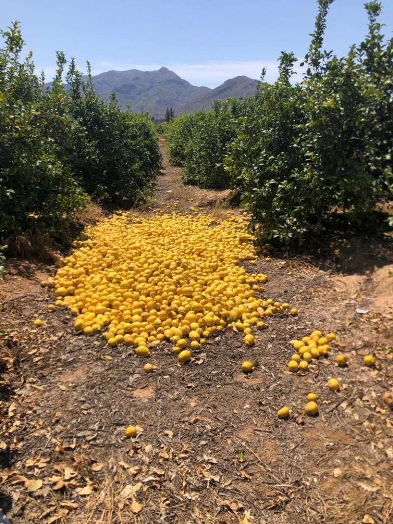 Limónes perdidos en un campo agrícola de la Vega Baja (Alicante).