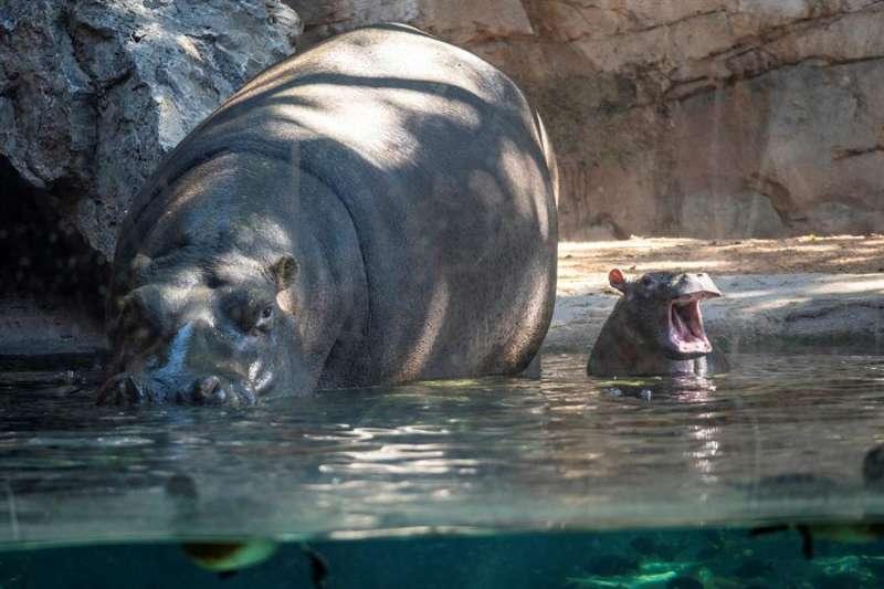 La nueva cría de hipopótamo, Gori, en una imagen facilitada por Bioparc.
